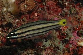 290px-cheilodipterus_quinquelineatus