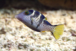 300px-canthigaster_valentini_prg1