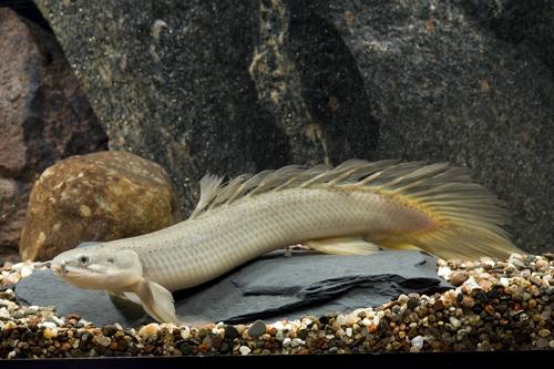 Longfin Palmas Dinosaur Eel