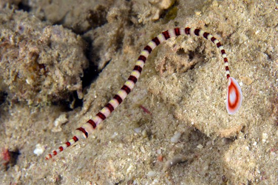 doryrhamphus20dactyliophorus20ringed20pipefish20kri20eco20raja20ampat20img_7911