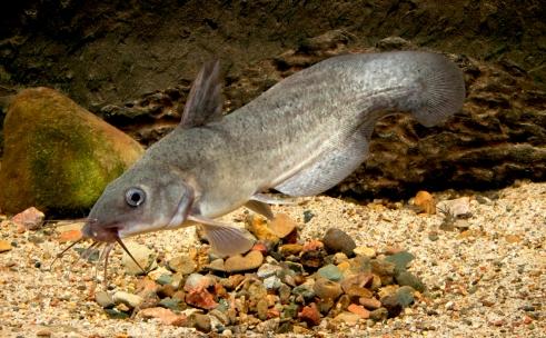 freshwater-catfish